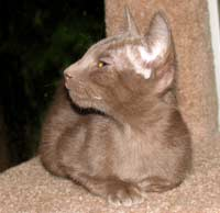 straight coat peterbald