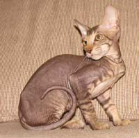 peterbald kitten - suede / shammy coat male - may be for sale / available for adoption