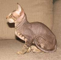 peterbald kitten profile