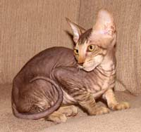 PD kitten peterbald cat suede coat