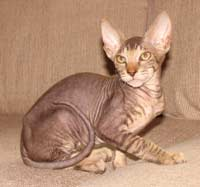 peterbald cat shammy coat