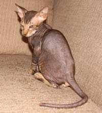 peterbald kitten naked cat