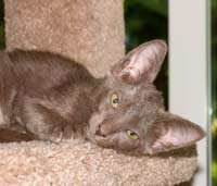 Peterbald kitten, a straight coat has fur similar to an Oriental short hair or siamese cat