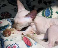 Peterbald kitten - suede / shammy chocolate point male will have Siamese coloring - may be available for sale or adoption