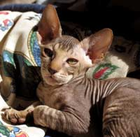 Peterbald kitten - brown mackeral tabby suede or shammy coat mlae hairless cat