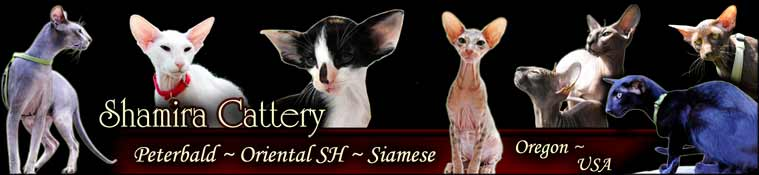 Pd Peterbald OSH ORI Oriental Short Hair OS Siamese SI SIA Bald Petersburg Sphynx SX hairless Cats cat Kittens kitten