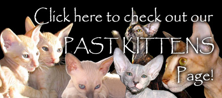Click here to check out the Past Peterbald and Oriental Kittens from Shamira Catter