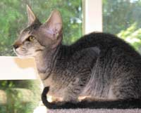 brush coated peterbald kitten spotted tabby profile