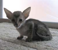 Ebony Spotted Tabby Straight Coated Peterbald kitten