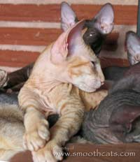 Shamira Niko, flock chamios coat red tabby Peterbald kitten
