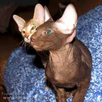 Shamira Nkosi, flock chamios coat chocolate havanna Peterbald kitten