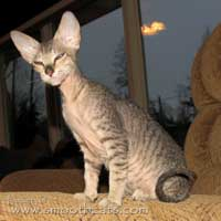 brown tabby peterbald kitten cat