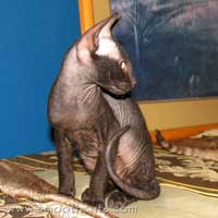 Black Heavy flock coated peterbald kitten cat