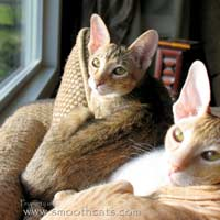 straight coated peterbald kitten