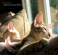 Sunshine kitten Peterbald looks like oriental short hair
