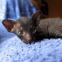 1 month old black peterbald kitten