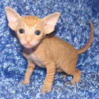 Shamira Niko, red,possibly brush or velour coated  male Peterbald kitten