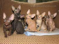Peterbald hairless kittens