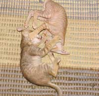 Ying Yang Peterbald PD kitten fight play