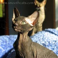 Shamira Naji, black, velour coated male Peterbald kitten
