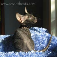 black hairless cat peterbald PD not a sphynx