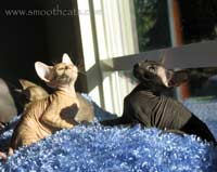 Two flock / chamois hairless suede coat hairless kittens cats