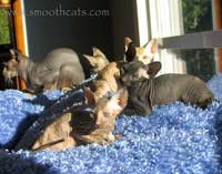 Group of Peterbald kittens