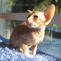 Shamira Niko, cream peterbald kitten, OSH outcross