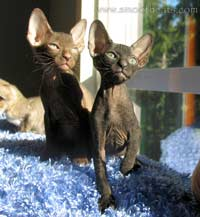 chocolate and red hairless kittens sphynx? no! peterbald!