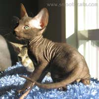 Shamira Naji, chocolate, brush or velour coated male Peterbald kitten