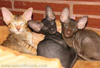 3 peterbald kittens, one straight coat, one brush coat, and one hairless kitten