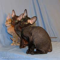 black chocolate havanna and red cream peterbald hairless kittens