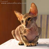 Shamira Myles, Chocolate Tabby Peterbald kitten