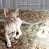 Brush or CHamois coated pointed female kitten