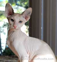 Peterbald cat siamese and white