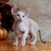 Brush or Chamois coat pointed male hairless kitten