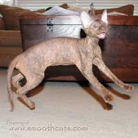 Flying Peterbald kitten