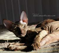 Shamira Piki, Flock or Brush coat Peterbald, chocolate tortie kitten