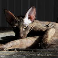 sleepy peterbald kitten