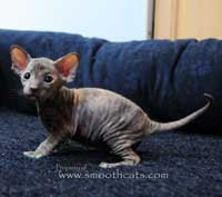pd kitten hairless cat
