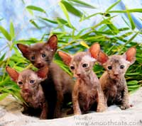hairless kittens