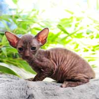 female peterbald hairless cat