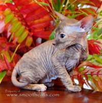 little peter bald hairless cat