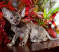 not a Sphynx kitten, she is a Peterbald