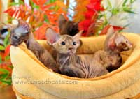 Litter of Peterbald hairless kittens