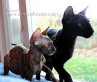 peterbald and oriental short hair kittens