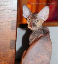 Peterbald female kitten