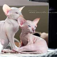 Peterbald kittens- hairless PD