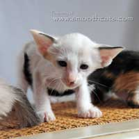Seal tortie point and white SI