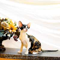 Black tortie with white Oriental Short Hair kitten OSH f 03